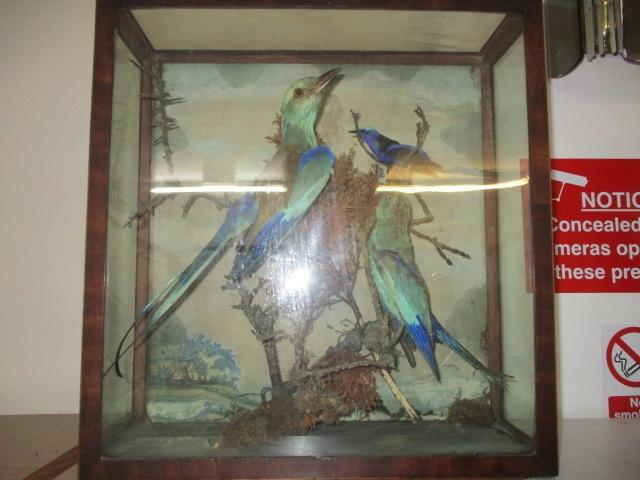 Antique Victorian taxidermy in case . 2 x Bee Catcher birds and a Humming bird  image